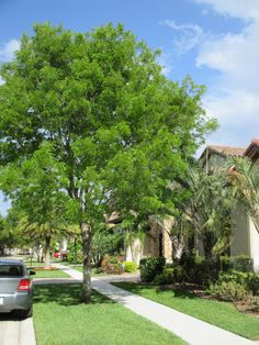 Mahogany Tree. Resilient, hardy, beautiful lighter green canopy, good shade producer, example of a mature tree here, can be kept at this size or let to go larger.  Good tree.  Universal Landscape, Inc.   www.universaldevgroup.com