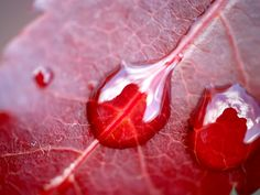 Nature Plants Water on red leaf  .jpg