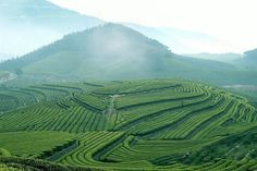 Green tea plantation, Hangzhou, China