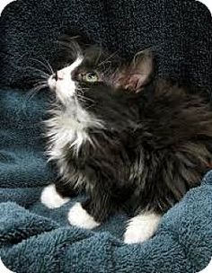 Pictures of Lucy a Domestic Longhair for adoption in whitestone, NY who needs a loving home.