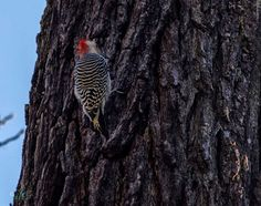 Photographing the Red bellied woodpecker - nature photography