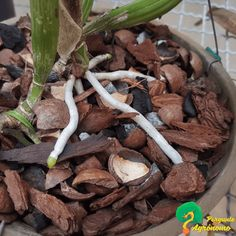 Indoor Orchids, Orchid Roots, Orquideas Cymbidium, Paving Ideas, Creative Landscape, Growing Succulents, Agaves, Gifts For Office, Artificial Plants