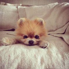 Pomeranian girl kitty <3
