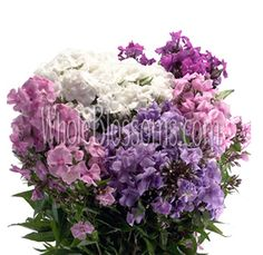 Phlox Flower - 100 stems, $129.99, 200 stems, $199.99