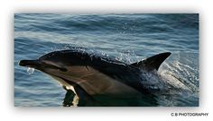 Clodagh BlakeBeautiful Ireland Photography    Common dolphin west cork