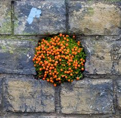 Tomatoes growing in a wall? #guerrillagardening    There are always holes somewhere in the foundation of Boston homes.