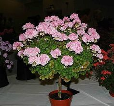 Geraniums on the balcony Container Plants, Container Gardening, Geranium Flower, Farm Gardens, Love Flowers, Horticulture, Indoor Plants, House Plants, Flower Pots