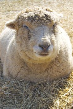 Cosmo -- now that's a happy sheep! Life at Juniper Moon Farm must be pretty sweet!