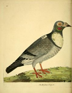 Pigeon, A Natural History of Birds: Illustrated with a Hundred and One Copper Plates, Eleazar Albin and William Derham, 1731-1738.