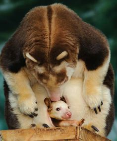 Tree kangaroo joey in mother's pouch