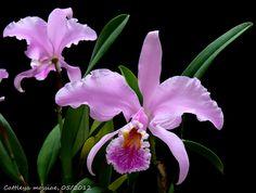 Cattleya mossiae , también conocida como  Flor de Mayo , es una  orquídea  perteneciente al grupo conocido por los cultivadores y aficio...