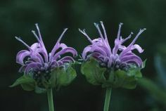 Pinch back the stem tips of your entire bee balm in early spring when they reach about 12 inches tall to encourage lateral growth and more blossoms. Use your fingertips and simply pinch off the first set of leaves from each stem. Make your pinches just above the second set of leaves. You do not need to pinch back your bee balm a second time using this method. 2 Stagger your pinching to encourage a longer display of flowers. To do this, pinch back one-third of the stems in early spring. A…