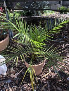 ...hast du auch bereits deine eigenen #Palmen 🌴 aus Samen gezogen? Falls nicht, auf geht's! Das macht einfach Freude und hier siehst' du eine ca. 3 1/2 Jahre alte Phoenix canariensis oder auch kanarische Dattelpalme! Du möchtest mehr über die Anzucht wissen und bist auf der Suche nach ein paar Tipps? Dann schaue mal hier vorbei.. Phoenix, Plants, Sprouting Seeds, Glee, Couple, Searching, Knowledge, Simple, Tips