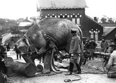 An Indian elephant, from the Hamburg Zoo, used by Germans in Valenciennes, France to help move tree trunks in 1915. As the war dragged on, beasts of burden became scarce in Germany, and some circus and zoo animals were requisitioned for army use. (Nationaal Archief)
