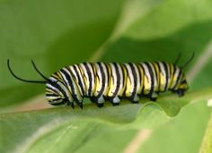 Animals That Start With C - Here is a list of all the animals we have found starting with the letter C. Caterpillars /ˈkætərˌpɪlər/ are the larval stage of members of the order Lepidoptera (the insect order comprising butterflies and moths). As with most common names, the application of the word is arbitrary and the larvae of sawflies commonly are called caterpillars as well. #AnimalsThatStartWithC #Caterpillar
