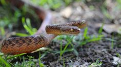 US plan to control Guam's snake population with toxic mice angers Peta