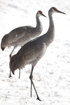 Sandhill Cranes I just had 15 of these fly over me while I was running! They are my favorite bird!