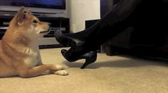 These GIFs have been making the rounds on Tumblr recently because they are adorable: | This Is A Very Clever Shiba Inu