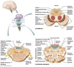 The Central Nervous System