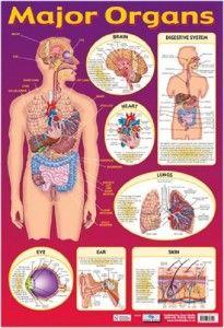 human body and major organs