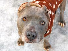 Manhattan Center   ALPHA - A0989626 *** HELPER DOG ***  NEUTERED MALE, GRAY / WHITE, PIT BULL MIX, 4 yrs STRAY - ONHOLDHERE, HOLD FOR DOH-NHB Reason STRAY  Intake condition INJ MINOR Intake Date 01/15/2014, From NY 11412, DueOut Date 01/25/2014 https://www.facebook.com/photo.php?fbid=759741294038752&set=a.617938651552351.1073741868.152876678058553&type=3&theater