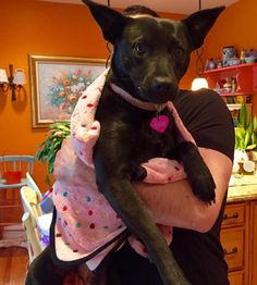 WINNIE is an adoptable Manchester Terrier searching for a forever family near…