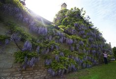 Wisteria growing on a cottage in Crudwell village, near Malmesbury, Wiltshire