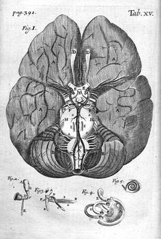 Thomas Gibson's representation of the brain, in The Anatomy of Humane Bodies Epitomized,1684