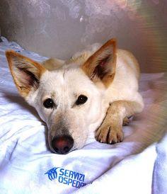 Canaan Dog Puppy