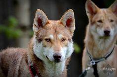 Ups and Rogue - Saarloos Wolfhonds at Miyax Dogs www.miyax.co.uk