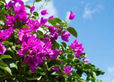 Bougainvillier : plantation, taille et conseils d'entretien
