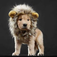 Animals That Rocked Their Pet Costumes This Halloween Hilarious Animals That Rocked Their Pet Costumes This Halloween - Adorable wittle puppy dog ?Hilarious Animals That Rocked Their Pet Costumes This Halloween - Adorable wittle puppy dog ? Pet Halloween Costumes, Pet Costumes, Dog Halloween, Halloween Party, Animals In Costumes, Costume Ideas, Lion Mane For Cat, Cute Baby Animals, Funny Animals