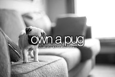 pugs a so cool, i want a baby one that stays a baby just like my future husky will be