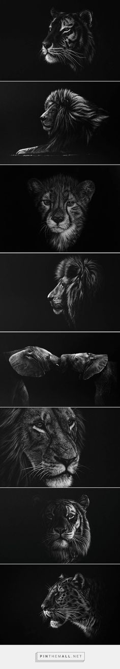 Richard Symonds :: Stunning Realistic Wildlife White on Black Drawings, Tigers, lions and cubs sketches.