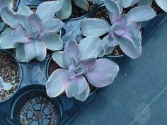Echeveria decora variegata