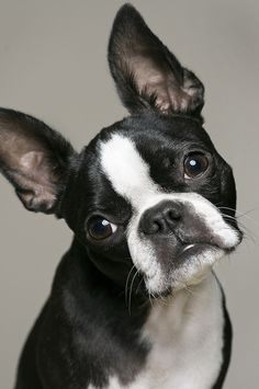 Look at that face! She looks just like our Boston, Ginger! She is 20 months old & is a very loving little pet! This is our third Boston over the years...