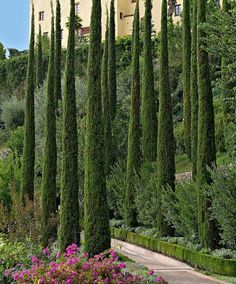 Italian Cypress are in the gardens already. Cupressus sempervirens 'Totem' - Its size is its importance; Only tall or so, whereas a regular Italian Cypress is tall. Amazing Gardens, Beautiful Gardens, Italian Cypress Trees, Mediterranean Garden Design, Tuscan Garden, Cupressus Sempervirens, Italian Garden, Evergreen Trees, Evergreen Garden