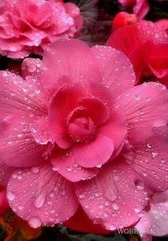 Pink petals with rain drops