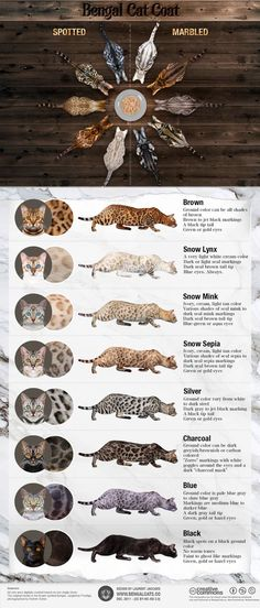 Bengal Cats For Sale Infographic showing all the colors and patterns of Bengal cats - There are many different Bengal cat color and pattern variations. I've created this visual guide to illustrate the different Bengal cat coats, spots, eye colors. Bengal Cat For Sale, Cats For Sale, Bengal Cats, Silver Bengal Cat, Bengal House Cat, Black Bengal Cat, Marble Bengal Cat, Silver Cat, Gato Bengali