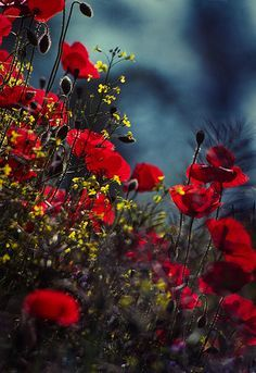 magie-der-liebe: coiour-my-world: papaveri by. - Lights and Shadows My Flower, Wild Flowers, Beautiful Flowers, Red Poppies, Yellow Wildflowers, Red Roses, Belle Photo, Planting Flowers, Nature Photography
