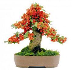 Easy To Grow Houseplants Clean the Air Bonsai Piracanta Bonsai Fruit Tree, Bonsai Art, Bonsai Plants, All Plants, Fruit Trees, Ikebana, Easy To Grow Houseplants, Fruit Bearing Trees, Mame Bonsai
