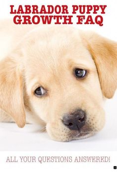 1e22a31ef 8 Awesome Facts to know about labs images | Labrador retrievers ...