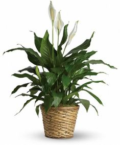Peace Lily: Give peace a chance! Also known as the Peace Lily, the spathiphyllum plant enchants everyone with its glossy, graceful leaves. Peace Lily Indoor, Peace Lily Plant, Sympathy Plants, Sympathy Flowers, Plant Delivery, Flower Delivery, Fast Flowers, Blooming Plants, Funeral Flowers