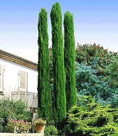 Echte Toscaanse 'zuilcypressen'. Love this trees!!
