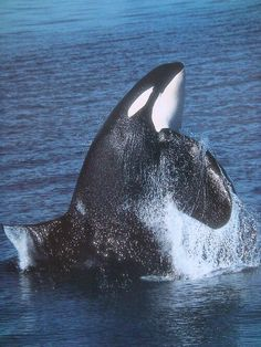 If Only All Orcas Could Be Free Like This One, Maybe Someday.....They Will