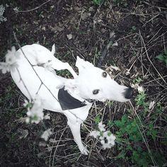 We are so happy to see the beatiful Yoji @_wand_wand wearing one of our bandanas: //love this fresh green color  #springvibes #dogbandana __________ black/white cooling bandana from @dogsnug ( # @_wand_wand    #bestwoof #dogcrushdaily #thestatelyhound #citydogs  #petsofinstaworld #instapup#puppiesofinstagram #ilovemydog #happymoment #dogholiday#dogloversofinstagram #dogslife #dogoftheday #sighthound #whippet #whippetsofinstagram #whippetlove#ウィペット #whippetpuppy #whippets #iggysofinstagram…