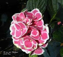 Hydrangea - 'Harlequin'