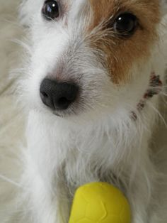 jack russell terrier -- such a sweet face :)