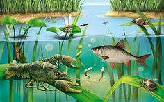 "Ecyclopedia ""Animals in the lake and on the fields' on Behance Underwater Pictures, Underwater Art, Animal Paintings, Animal Drawings, Lake Animals, Old School Pictures, Illustrator, Pond Life, Nocturnal Animals"