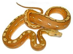 Orange Ghost Stripe Retic Python Morph